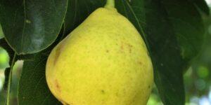 Orient Pear Tree Garden Plant