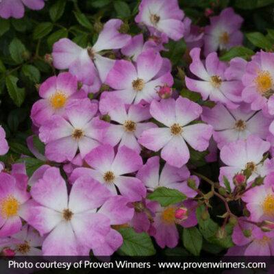 Oso Easy Fragrant Spreader Groundcover Rose Garden Plant