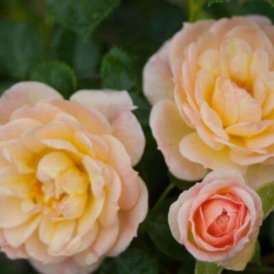 Oso Easy Honey Bun Rose Garden Plant
