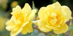 Oso Easy Lemon Zest Rose Garden Plant