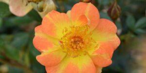 Oso Easy Paprika Rose Garden Plant
