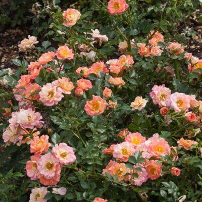 Oso Easy Strawberry Crush Rose Garden Plant