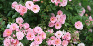 Oso Happy Petit Pink Rose Garden Plant
