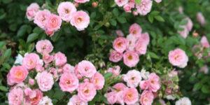 Oso Happy Petit Pink Rose Garden Plant