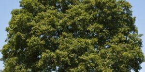 Overcup Oak Tree Garden Plant