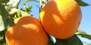Owari Satsuma Mandarin Garden Plant