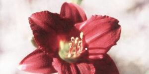 Pardon Me Daylily Garden Plant