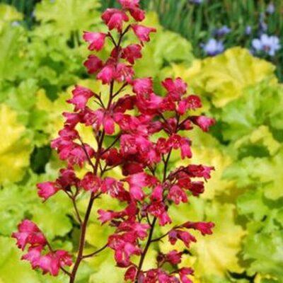 Paris Coral Bells Garden Plant