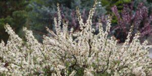 Pawnee Buttes Sand Cherry Garden Plant