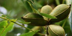 Pawnee Pecan Tree Garden Plant