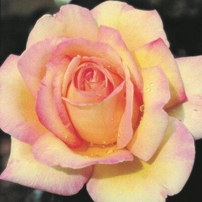 Peace Rose Garden Plant