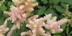 Peach Blossom Astilbe Garden Plant