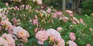 Peach Drift Rose Tree Garden Plant