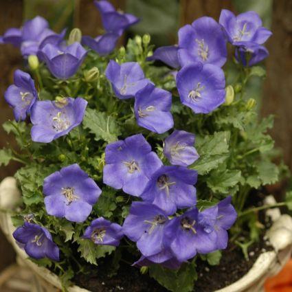 Pearl Deep Blue Bellflower Garden Plant