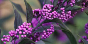 Pearl Glam Beautyberry Garden Plant