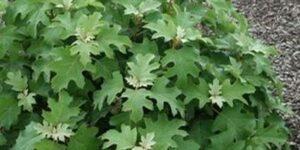 Pee Wee Dwarf Oakleaf Hydrangea Garden Plant