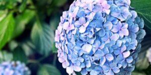 Penny Mac Hydrangea Garden Plant