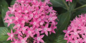 Penta Butterfly Deep Pink Garden Plant