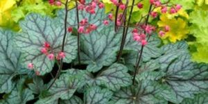 Peppermint Spice Coral Bells Garden Plant