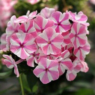 Peppermint Twist Phlox Garden Plant