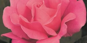 Perfume Delight Rose Garden Plant