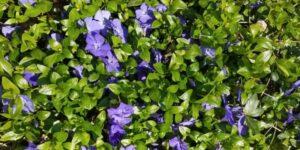 Periwinkle Garden Plant