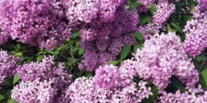 Persian Lilac Garden Plant