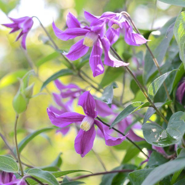 Petit Faucon Clematis Garden Plant