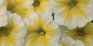 Petunia Supertunia Citrus Garden Plant