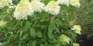 Phantom Hydrangea Garden Plant