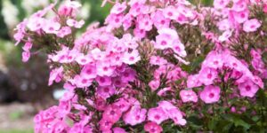 Phlox Cotton Candy Garden Plant