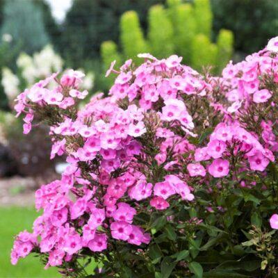 Phlox Cotton Candy Garden Plant