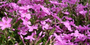 Phlox Emerald Pink Garden Plant