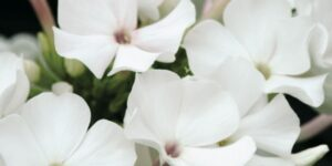 Phlox Flame White Garden Plant