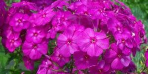 Phlox Junior Dream Garden Plant