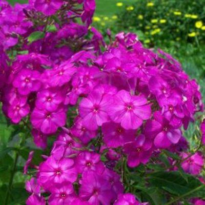 Phlox Junior Dream Garden Plant
