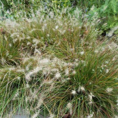 Piglet Fountain Grass Garden Plant