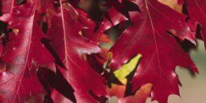 Pin Oak Tree Garden Plant