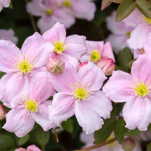 Pink Anemone Clematis Garden Plant
