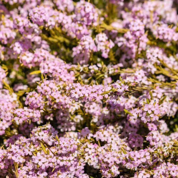 Pink Breath of Heaven Garden Plant