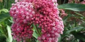 Pink Butterfly Plant Garden Plant