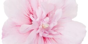 Pink Chiffon Rose of Sharon Garden Plant
