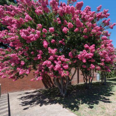 Pink Crape Myrtle Garden Plant