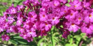Pink Delight Butterfly Bush Garden Plant