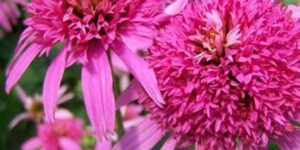 Pink Double Delight Coneflower Garden Plant