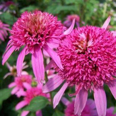 Pink Double Delight Coneflower Garden Plant