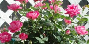 Pink Double Knock Out Rose Tree Garden Plant