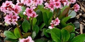 Pink Dragonfly Bergenia Garden Plant