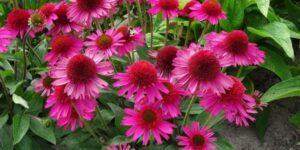 Pink Fascinator Coneflower Garden Plant