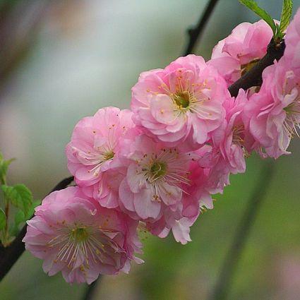 Pink Flowering Almond Garden Plant